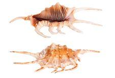 Free Conch Seashell Royalty Free Stock Photo - 19351015