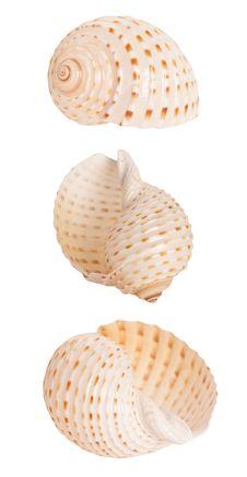 Free Spiral Seashell Royalty Free Stock Image - 19351066