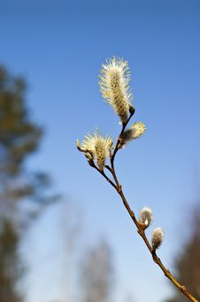 Free Twig Of Pussy Willow Stock Photography - 19351082