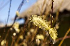 Twig Of Pussy Willow Royalty Free Stock Image