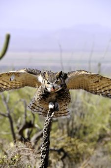 Free Great Horned Owl Royalty Free Stock Photos - 19351298