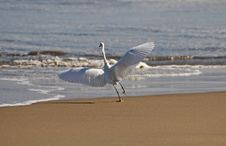 Free Egret Taking Flight From The Shore Stock Photography - 19351542