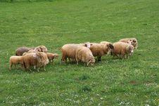 Free Sheep Family Royalty Free Stock Photo - 19351895