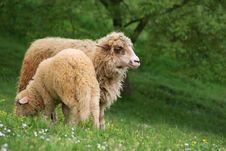 Free Sheeps Stock Image - 19352021