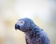 Free African Grey Parrot Royalty Free Stock Photo - 19353805