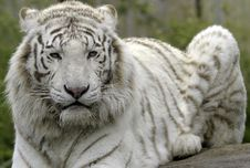Free White Tiger Stock Photography - 19354122