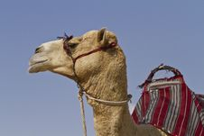 Free Camel In Desert ,Dubai Royalty Free Stock Photos - 19354498
