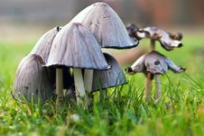 Free Mushrooms On Green Meadow Royalty Free Stock Photo - 19355215