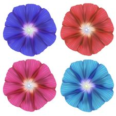 Free Realistic Convolvulus Royalty Free Stock Photo - 19355265