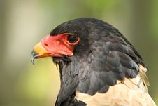 Free Bateleur Eagle Royalty Free Stock Photography - 19356137