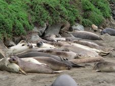 Elephant Seals Near San Simeon Royalty Free Stock Photos