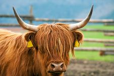 Free Highland Cattle Royalty Free Stock Photos - 19356598