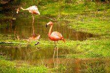 Free Pink Flamingos Royalty Free Stock Photos - 19357948