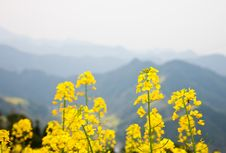 Free Oilseed Blossoms Royalty Free Stock Images - 19357959