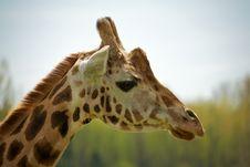 Free A Rothschild Giraffe Stock Image - 19358181