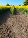 Free Oilseed Crop Stock Photography - 19362302