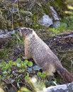 Free Small Furry Marmot. Stock Photos - 19369933