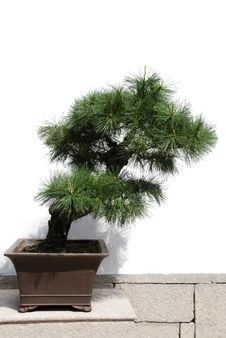 Free Bonsai Royalty Free Stock Photos - 19360178