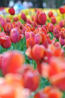Free Tulips Field Panorama Royalty Free Stock Photos - 19360568
