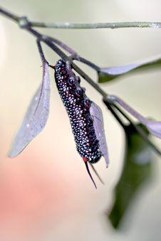 A Black Butterfly Larva Stock Photos