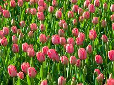 Free Tulips. Royalty Free Stock Photos - 19360658
