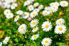 Free Daisies Royalty Free Stock Photography - 19360837