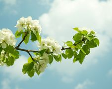 Flowering Branch Of Pear Stock Photos