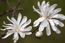 Free White Magnolia Stock Photography - 19361412