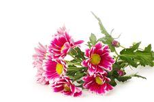 Beautiful Pink Chrysanthemum Royalty Free Stock Images