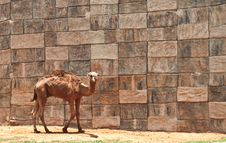 Free Camel Stock Photo - 19362490