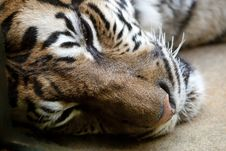 Free Bengal Tiger Stock Photography - 19362622