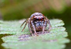 Free Jumper Spider Royalty Free Stock Images - 19363239