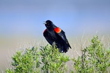 Free Red-winged Black Bird Royalty Free Stock Photography - 19363807