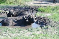 Free African Buffalos In The Mud Stock Image - 19364091