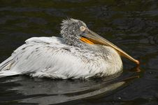 Free Pelican 1 Royalty Free Stock Image - 19365316