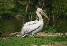 Free Pelican 3 Royalty Free Stock Photos - 19365338