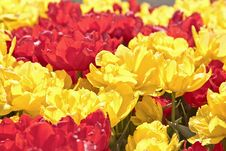 Free Tulips Royalty Free Stock Images - 19365549