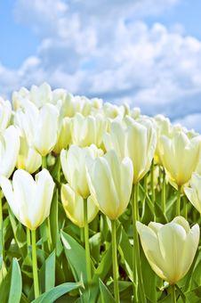 Free White Tulips Stock Photos - 19365563