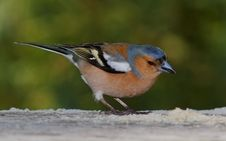 Free Chaffinch (male) Royalty Free Stock Photography - 19366247