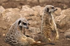 Free Meerkat Stock Photos - 19366263