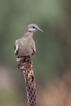 Free White-winged Dove (Zenaida Asiatica Mearnsi) Stock Photography - 19368602