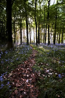 Free Bluebell Wood Pathway Stock Photos - 19369683
