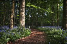 Free Bluebell Wood Pathway Stock Photo - 19369700