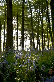 Free Bluebell Wood Sun Back Light Stock Image - 19369721