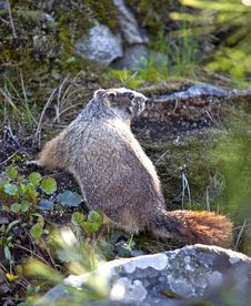 Free Marmot Among Rocks And Plants. Royalty Free Stock Image - 19369916