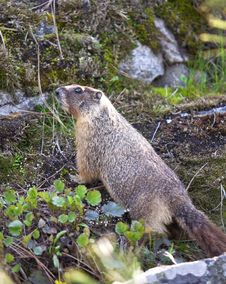 Free Small Furry Marmot. Stock Photos - 19369933