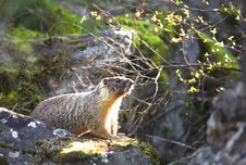 Free Small Marmot On A Rock. Stock Images - 19369954