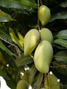 Free Mango Tree Stock Photos - 19376373