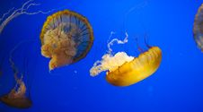 Free Jellyfish Royalty Free Stock Photography - 19370227