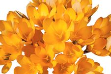 Free Yellow Crocus. Royalty Free Stock Photo - 19370665